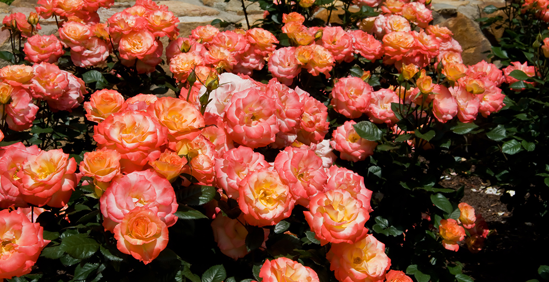 Drift Rose 'Coral'