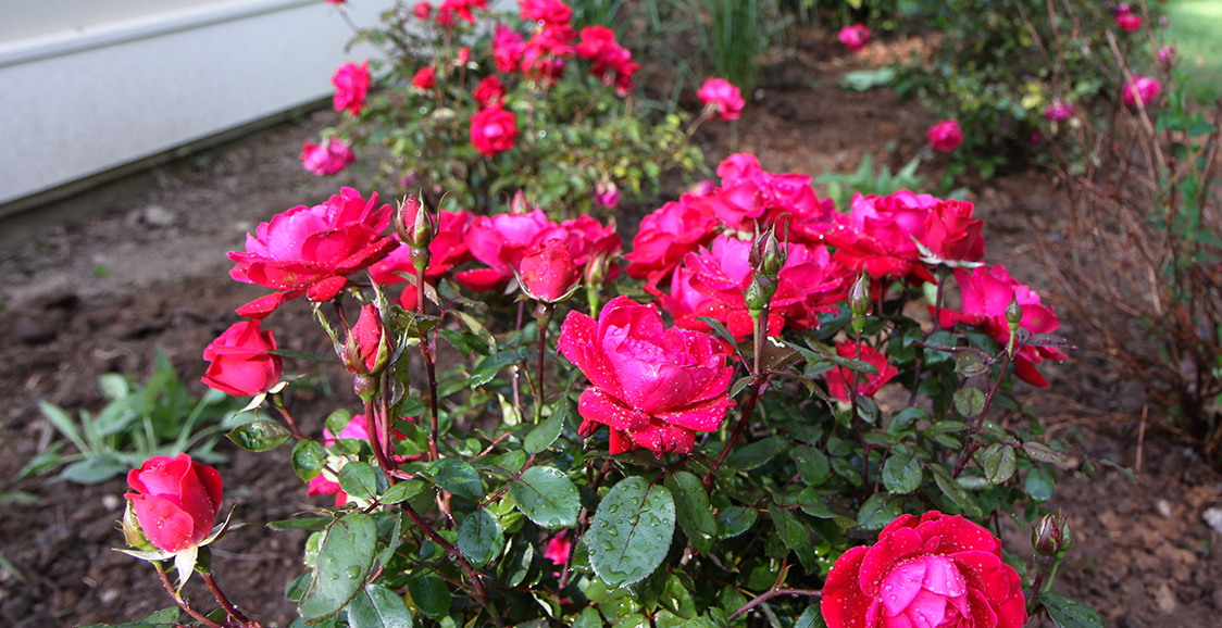 Knock-Out Rose 'Red'