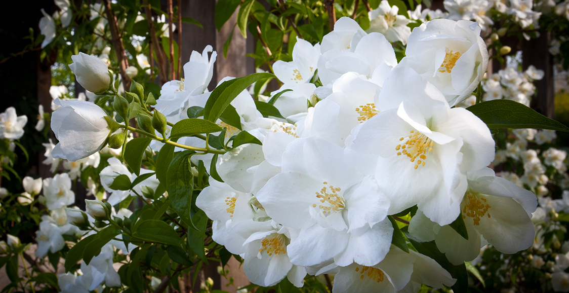 Knock-Out Rose 'White Out'